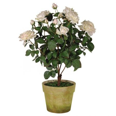 Cream/White Blush Rose Bush in Garden Pot