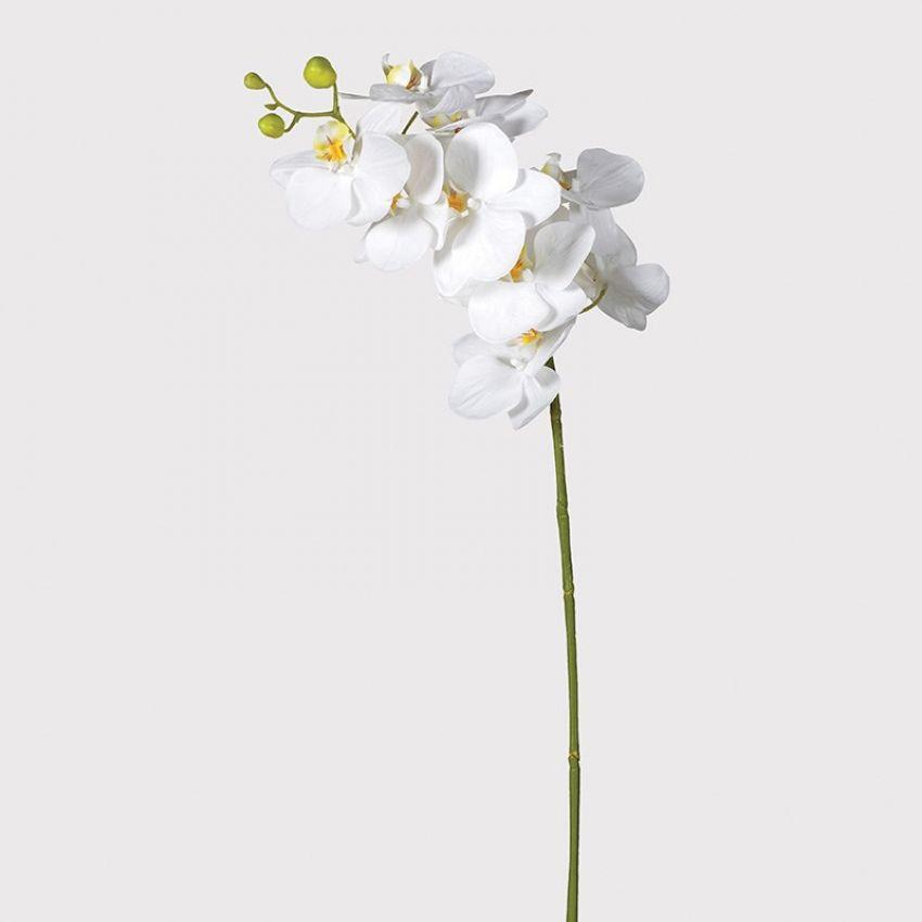White Orchid Phalaenopsis Flower