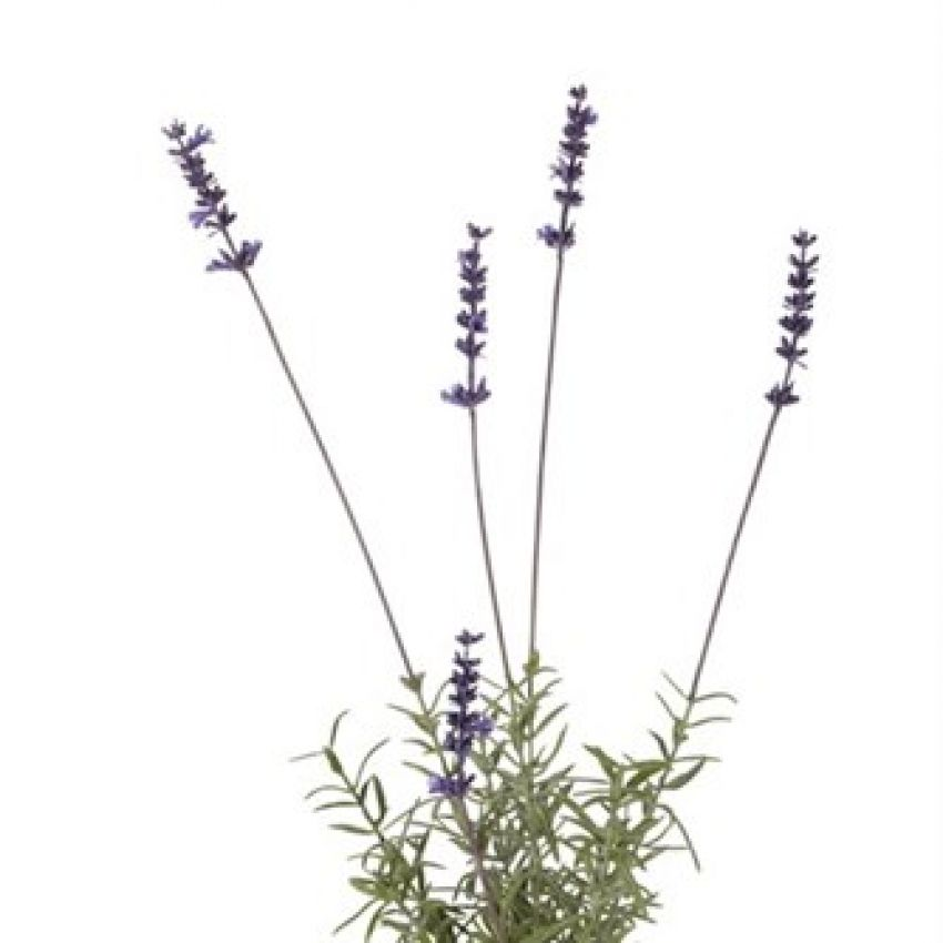 Flora Lavender
